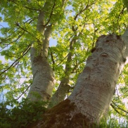 Ash trees in Ticknock